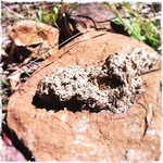 Water affected wombat poo on stone. Babbington Hill, Wombat State Forest near Fryerstown, Victoria. Dec 28 2011.