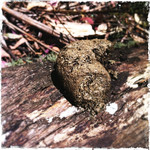Wombat poo on log. Babbington Hill, Wombat State Forest near Fryerstown, Victoria. Dec 28 2011.