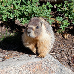 Yep, it's a marmot. Great characters. John Muir Trail, the Sierra Nevada Mountains in California, United States.